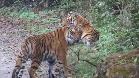 Sub-Adult Tiger Siblings at Thandi Sadak in Dhikala, Corbett Tiger Reserve; Photo by M. Karthikeyan