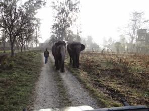 Pawan Pari, a kumki (captive elephant), returning with another to Dhikala FRH. Seen here is Monu alias Sarfraz, Pawan Pari's Mahut. March 2014; Photo by M. Karthikeyan