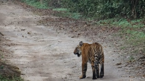 Tiger Siblings, Dhikala 2014; Photo by M. Karthikeyan