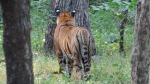 Tiger Spotted Sambar Deer. Ranthambore National Park, India; Photo by M. Karthikeyan