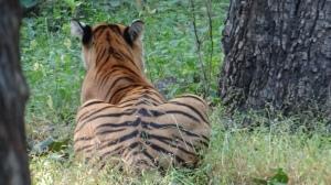 Crouching Tiger. Ranthambore National Park, India; Photo by M. Karthikeyan