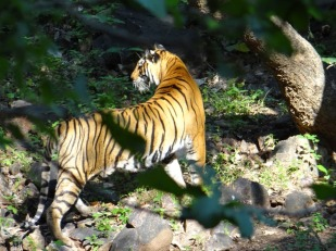 Zone 7 Togress Ranthambore; Photo by M. Karthikeyan