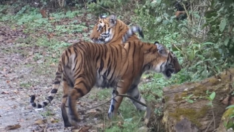 Corbett Tiger Siblings, Dhikala March 2014; Photo by M. Karthikeyan