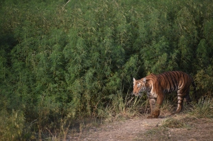 Tigress Walking Through Cannabis Field at Jim Corbett National Park, India; Photo by M. Karthikeyan