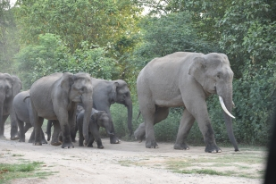 Walking With the Giants! Elephant herd at Thandi Sadak, Dhikala in Jim Corbett National Park; Photo by Pooja Parvati