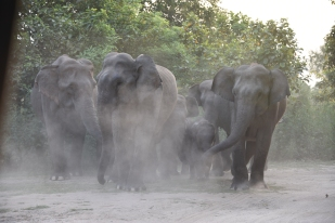 Elephants react after unexpectedly running into a safari gypsy at Thandi Sadak in Dhikala, Jim Corbett National Park; Photo by Pooja Parvati