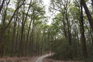 Sal Forest, Jim Corbett National Park, India