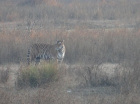 Mukki Range Tigress, Kanha National Park; Photo by M. Karthikeyan