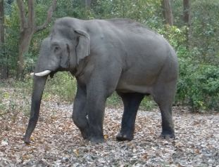 Tusker in Bijrani zone of Corbett Tiger Reserve; Photo by M. Karthikeyan