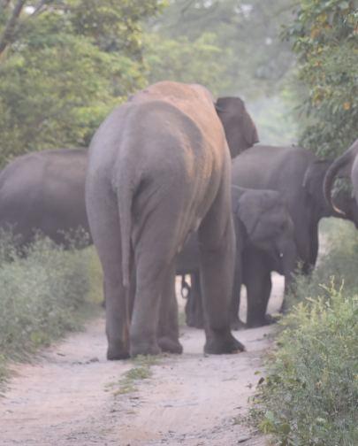 Pooja Parvati_Dhikala_tusker3