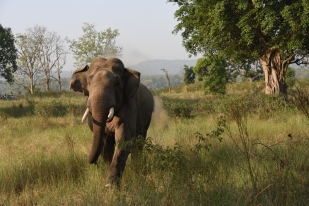Tusker Charges at Safari Gypsy. Dhikala, Jim Corbett National Park, India; Photo by Pooja Parvati