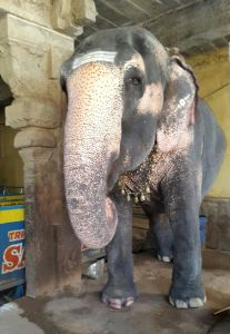 Indian Temple Elephant, Rockfort Temple, Tiruchirapalli; Photo by Thayumanapillai Ramanathan